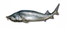 Белуга