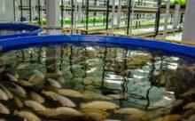 Как вывести аквакультуру «в топ»: рецепт Росрыболовства