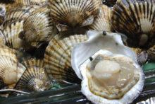 Более 4,7 тысяч тонн гребешка выращено на «морских огородах» Приморья