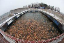 Производители рыбы в РФ переходят на отечественную селекцию, отказываясь от импорта
