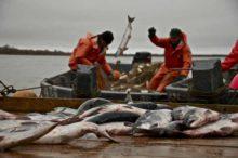 Россия вышла на четвёртое место в мире по вылову рыбы