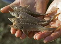 Ученые помогут рыбоводам вывести продуктивные породы