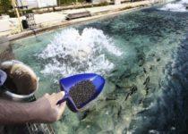 Велика зависимость отечественных рыбоводов от импортного посадочного материала и кормов