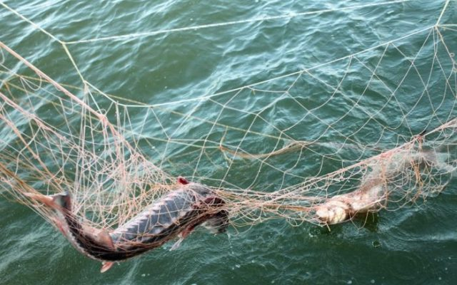 На Крымском полуострове усилены меры по сохранению краснокнижных видов водных биоресурсов