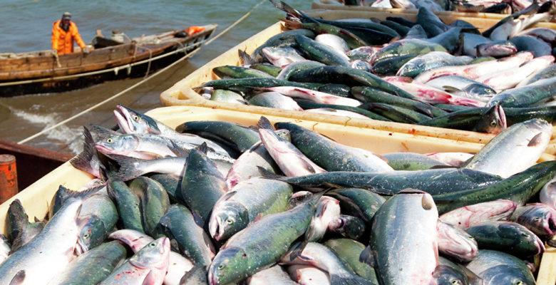 В 2017 году в России зафиксирован рекордный вылов рыбы